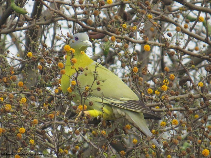 Yellow-footed Green Pigeon(Travel Log -- Punjab)